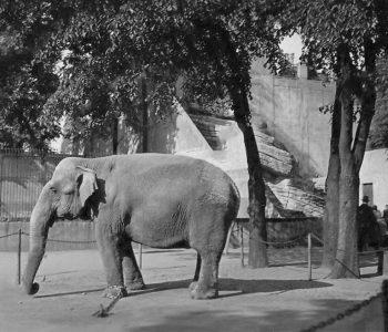 CGH-Sommerzoo-Elefant-1926